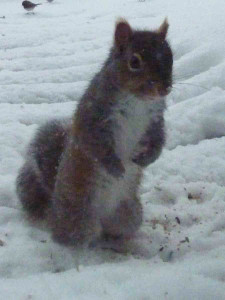 Blizzard-squirrel