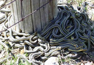 Old fence post is magic portal to snake world in spring.