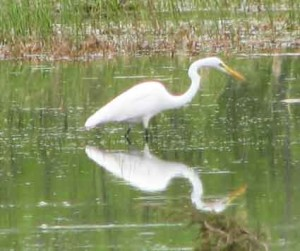 Real egret in my pond. Wow! Thanks beavers. (E.Miller Photo)