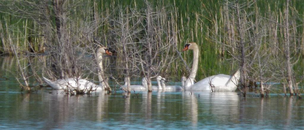 SwanBabes