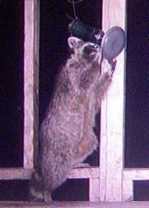 HF-Raccoon