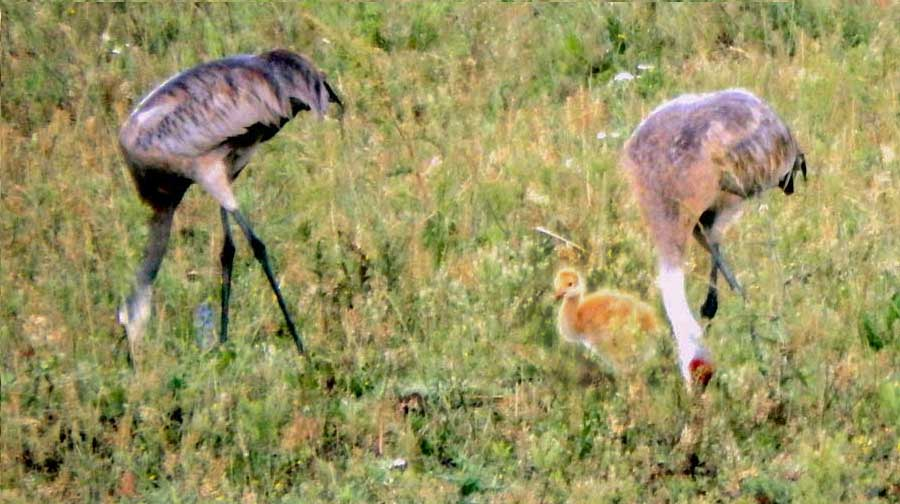 Sandhill Cranes Present New Baby.  Guess They'll Stay a While.