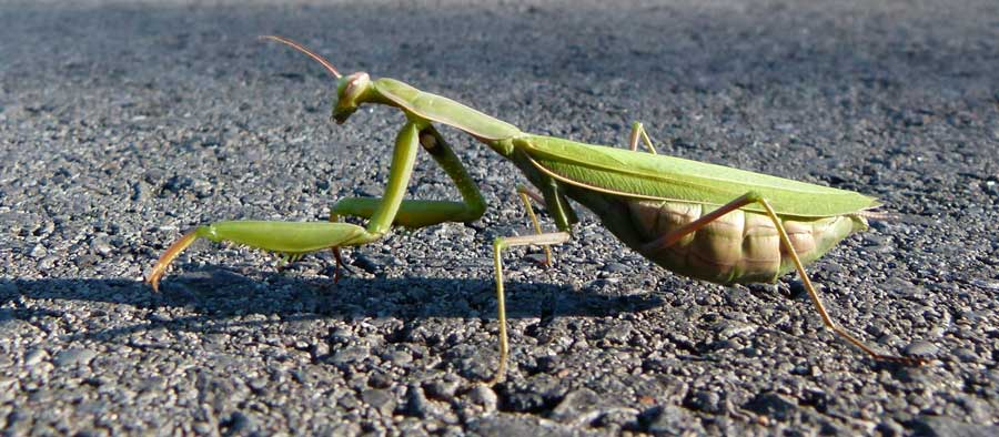 Praying Mantids Take to the Road. Are They Suicidal or Giddy from Romance?