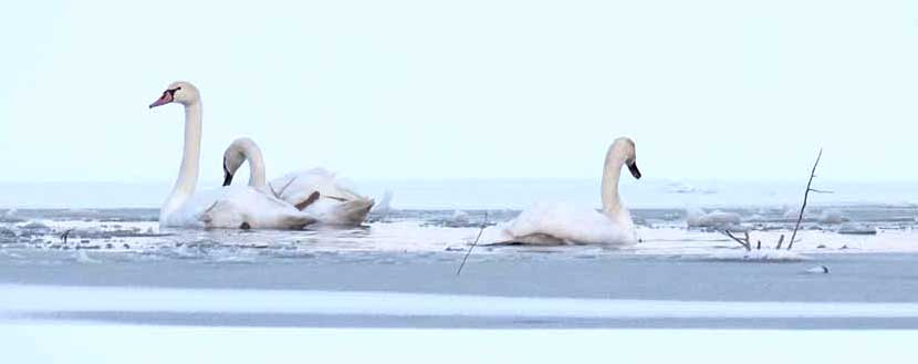 Swans in Winter, A Matter of Survival