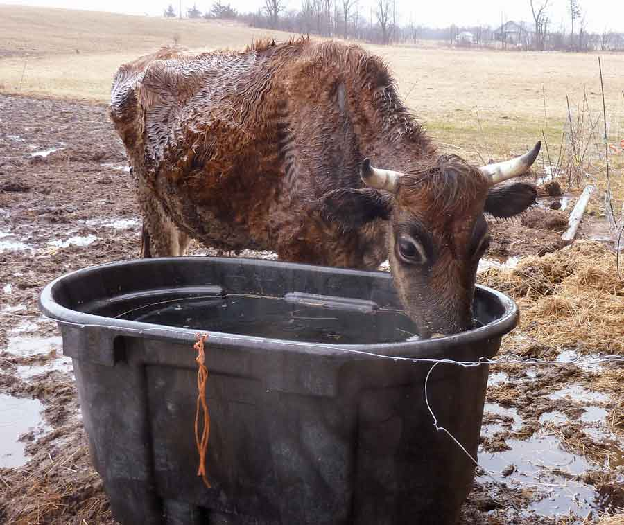 Maple Syrup Slurping and What Real Farm Animals Look Like in Spring