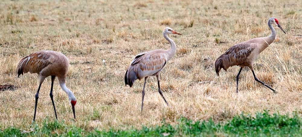 Crane family with one baby grown large