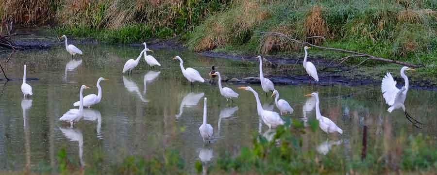 Egrets, Egrets Everywhere.