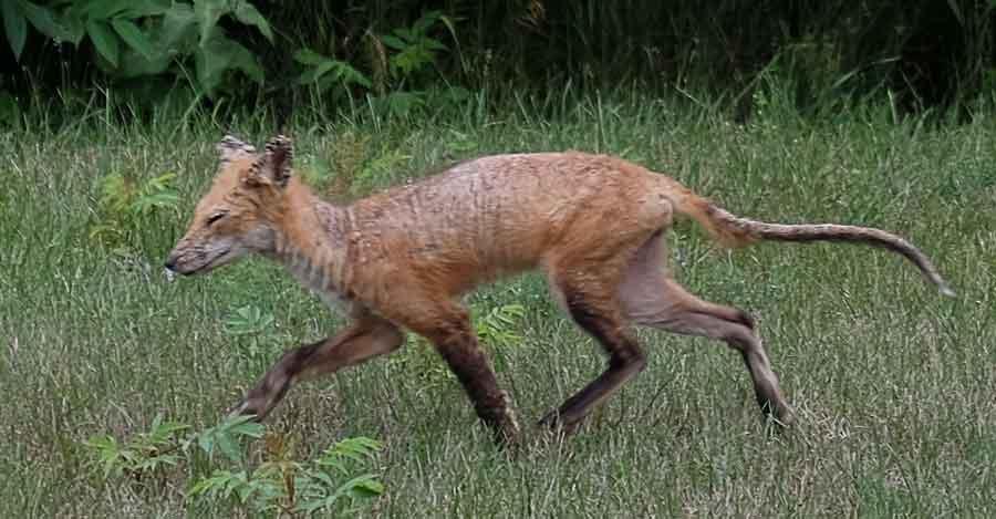 Saving Our Sick Wild Fox