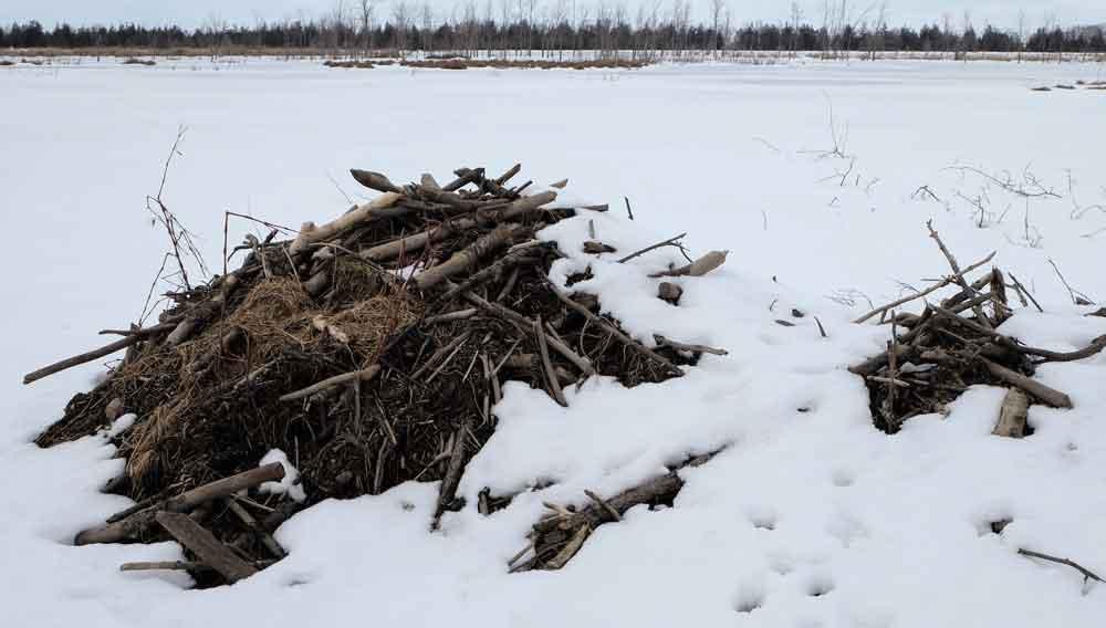 Pond Beavers Snug for the Winter