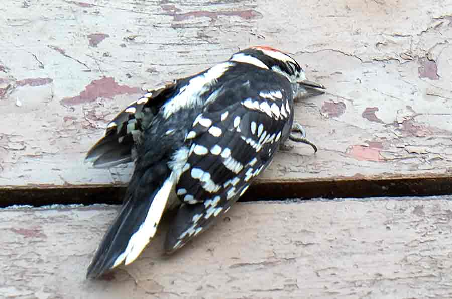Glass Door Bonk! Woodpecker Down