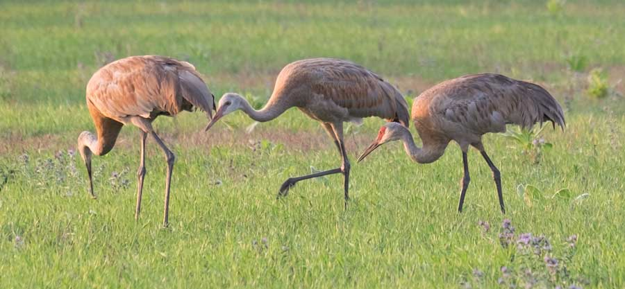 Sandhill Crane Baby is Now Huge