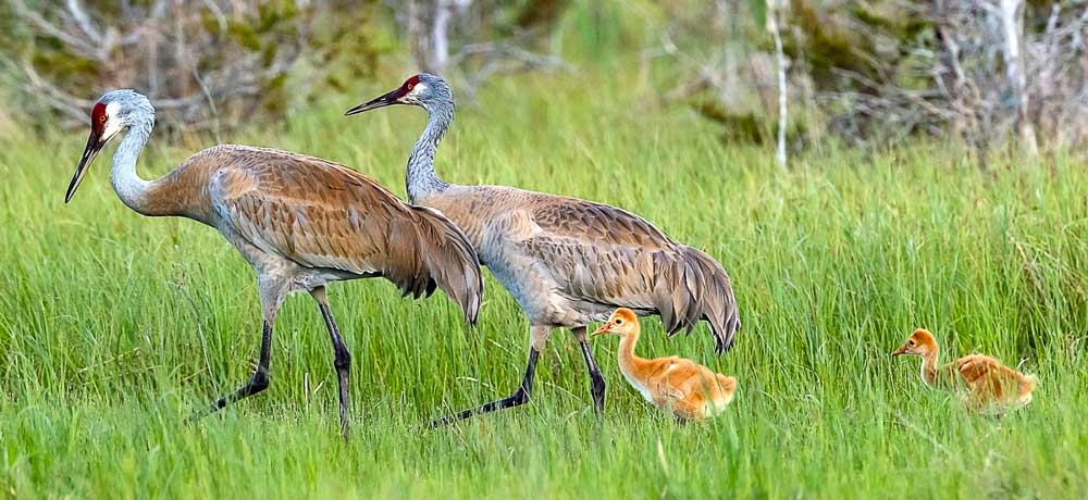 Sandhill Cranes Remain Devoted as Ever Despite Family Tragedy