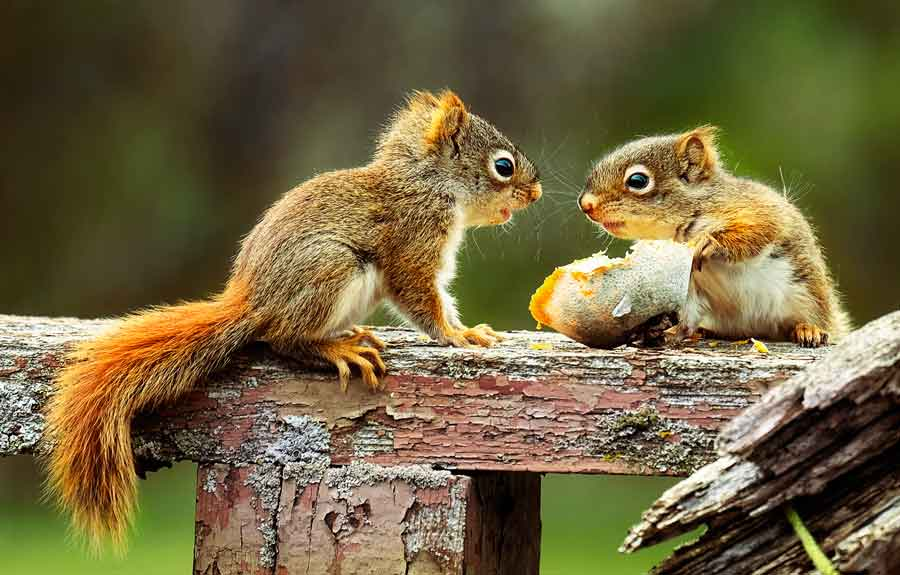 Young Red Squirrels.  Free Roaming Cuteness