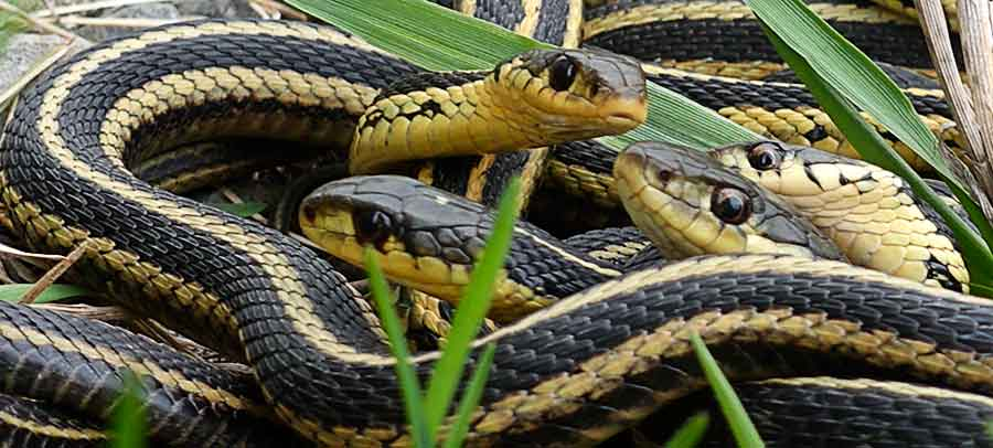 Garter Snake Wake Up Time Again